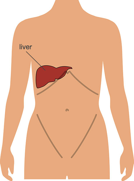 Gallstones diagnosis and treatment faq the london gallstone clinic diagram showing the position of the liver ccuart