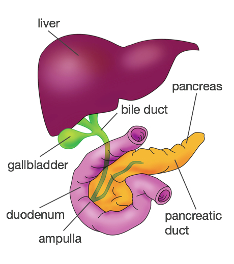 Gallstone surgery the london gallstone clinic diagram showing the position of the gallbladder ccuart Images